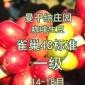 曼干纳庄园语儿泉茶业生豆云南小粒语儿泉茶业雀巢4C标准一级